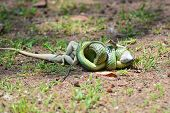 foto of tree snake  - The Golden Tree Snake  - JPG