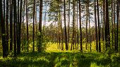 stock photo of coniferous forest  - Sunlight In Green Coniferous Forest - JPG