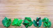 picture of basil leaves  - Aroma leaves of Thai traditional herbs  - JPG