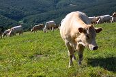 picture of cattle breeding  - Charolais and Jersey cattle on the alp pasture Slovakia - JPG