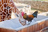 picture of rooster  - Rooster and giraffe drinking from same watertrough - JPG