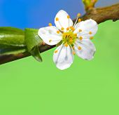 foto of cherry trees  - Blooming cherry tree in early springtime daylight - JPG