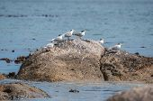 foto of tern  - Swift Terns at the Boulders section of the Table Mountain National Park in Simons Town the home of a land - JPG