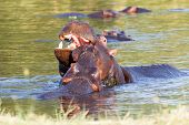 image of tusks  - Two young male hippopotamus Hippopotamus amphibius rehearse fray and figting with open mouth and showing tusk - JPG