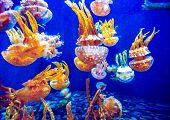 foto of oceanography  - Orange jellyfish  - JPG