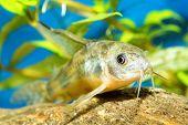 image of catfish  - Aquarium catfish fish from the genus Corydoras - JPG