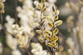 stock photo of yellow buds  - spring twigs with buds and blurry background - JPG