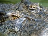 Full Frame Picture Showing Huge Saltwaer Crocodile Head And Eye, Thailand , Asia