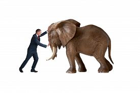 picture of headstrong  - test of strength concept businessman pushing against an elephant isolated - JPG