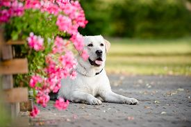stock photo of labrador  - yellow labrador dog outdoors in a park - JPG