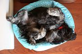 Dog in a dog bed. A dog sleeps in his dog bed.  poster