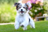 Cute, Happy Puppy Running On Summer Green Grass poster