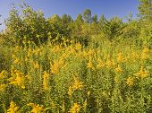 picture of ragweed  - A field of yellow allergy producing flowers - JPG