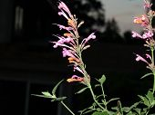 stock photo of hyssop  - Agastache Acapulco Salmon and pink in my garden - JPG