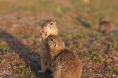 Two European Ground Squirrels Standing In The Field. Spermophilus Citellus Wildlife Scene From Natur poster