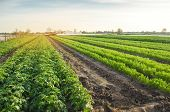 Agricultural Landscape With Vegetable Plantations. Growing Organic Vegetables In The Field. Farm Agr poster
