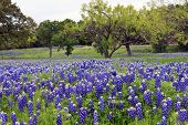 picture of mesquite  - Bluebonnets on a hillside in the Texas Hill Country - JPG