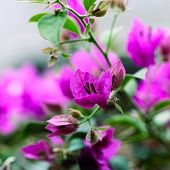 Pink bougainvillea blooms in the garden, soft focus