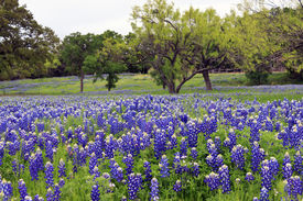 picture of bluebonnets  - Bluebonnets on a hillside in the Texas Hill Country - JPG