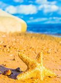 picture of starlet  - Sea Starlet Starfish called Wanda - JPG