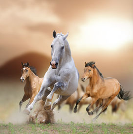 pic of fillies  - horses in a sunset running in the dust - JPG