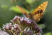 Silver-washed fritillary front view