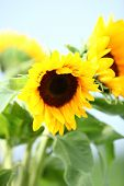 picture of heliotrope  - Colourful bright yellow sunflowers with their ripening seeds growing in a field outdoors - JPG