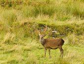 foto of cervus elaphus  - Majestic European Red deer  - JPG
