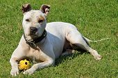 picture of pitbull  - White pitbull on green grass with a toy - JPG