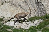 Walking Young Alpine Ibex