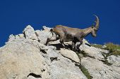 Beautiful Young Alpine Ibex Walking