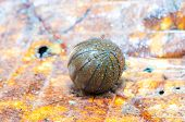 stock photo of woodlouse  - Pill millipede is rolling into ball form in rainforest - JPG