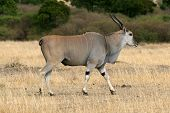 stock photo of eland  - Eland Antelope Tragelaphus oryx walking on short dry grass - JPG