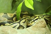 picture of burmese pythons  - Close up Ball python on the wood - JPG
