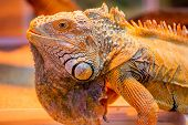 picture of godzilla  - Iguana The green iguana is a large arboreal mostly herbivorous species of lizard of the genus Iguana native to Central South America and the Caribbean - JPG