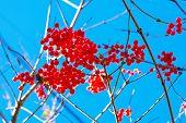 Постер, плакат: Viburnum berries