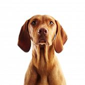 picture of hungarian  - Hungarian Vizsla pointer dog on white background - JPG