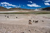 foto of lamas  - Lamas And Alpagas In Bolivia - JPG