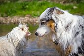 picture of herding dog  - An Australian Shepherd can be intimidated by a little white dog - JPG