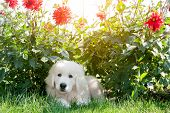 stock photo of puppy eyes  - Cute white puppy dog lying on grass in flowers - JPG