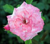 picture of puffy  - Beautiful park summer puffy Single  Rose with bud  - JPG