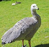 image of ceres  - a large goose resident in southern Australia - JPG