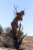 pic of african mask  - African masked weaver big nest on tree african landscape Kgalagadi Transfrontier Park Botswana true wildlife - JPG