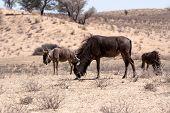 stock photo of wildebeest  - wild Wildebeest Gnu grazing Kgalagadi South Africa true wildlife - JPG