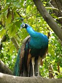 foto of indian peafowl  - A indian or blue ribbon peacock (pavo christatus)