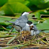 image of tern  - common tern feeding its chicks in the nest  - JPG