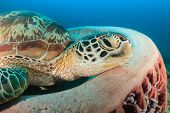 pic of green turtle  - Green Turtle resting on a barrel sponge - JPG