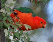 picture of king parrot  - Australian King Parrot  - JPG