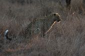 picture of nocturnal animal  - Leopard sitting in near darkness hunting nocturnal prey in a spotlight - JPG