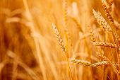 pic of ear  - Yellow wheat ears field background - JPG